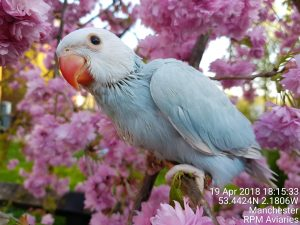 Indian Ringneck Baby Parrot At RPM Aviaries Manchester
