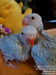 Ring-necked parakeet babies