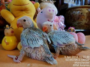 Indian Ringneck Baby Parrots Manchester